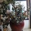 Saving Raymond: West Seattle Saves a Jade Tree